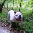 bulldog107_mini