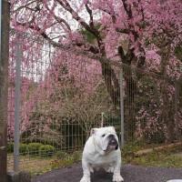 桜の見納めですd(≧∀≦*)