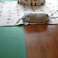 ブルドッグ子犬生まれました