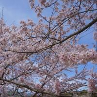 満開の桜です(*´◡`*)
